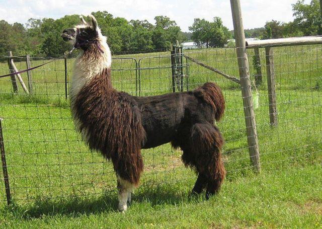 llamas- male for adoption in Arkansas