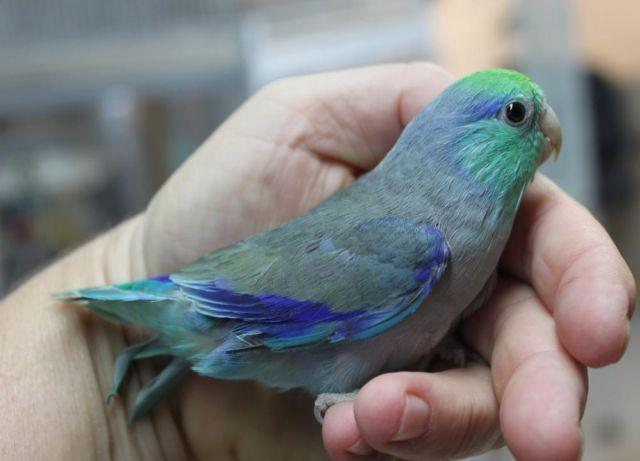 Looking to buy parrotlet