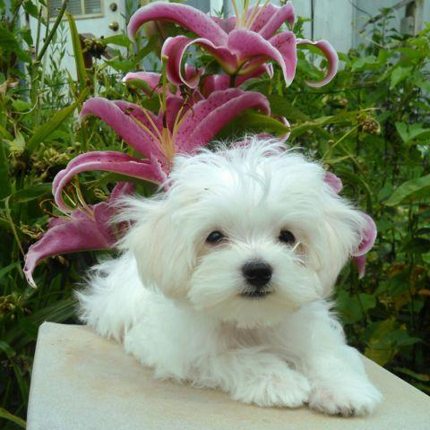 Loveable, Cuddley Small Male Maltipoo Puppy for sale in