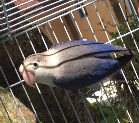 Lovebirds euwing for sale