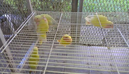 lovebirds lutinos