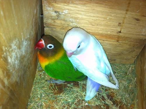 lovebirds-Rare