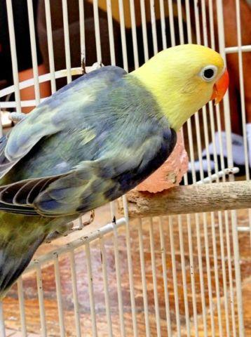 Lovebirds- Sables- Misty- Violets- Yellow face- Pied- Euwing- Creamino