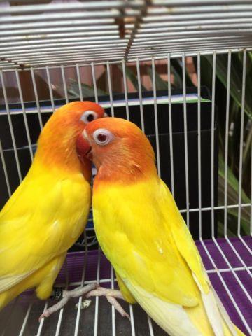 Lutino and Albino lovebirds