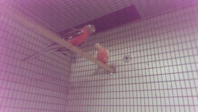 Lutino Male Parakeet