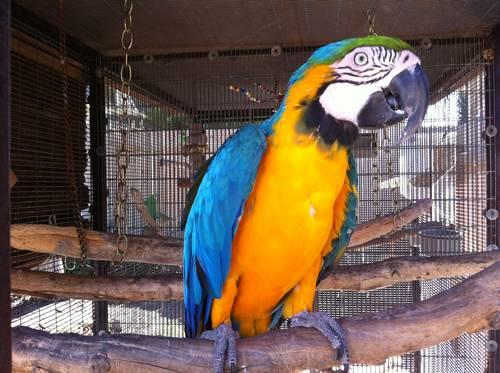 Macaw - Blue and Gold with large cage