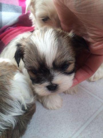 Maltese/Shih-Tzu mix puppies for sale in Ionia, Michigan - Animals