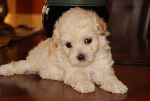 Maltipoo (Maltese/ToyPoodle) Puppy OBO for sale in Walla