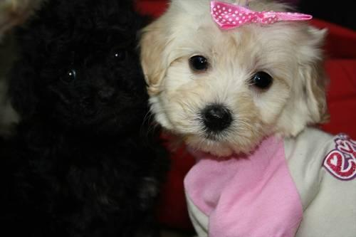 Maltipoo Puppies! Only 1 Toy Size Female Left for sale in Suffolk