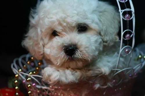 maltipoo puppies very cute for sale in Mishawaka, Indiana