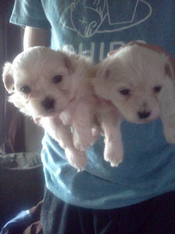 Maltipoo Puppies! for sale in Lafayette, Indiana - Animals