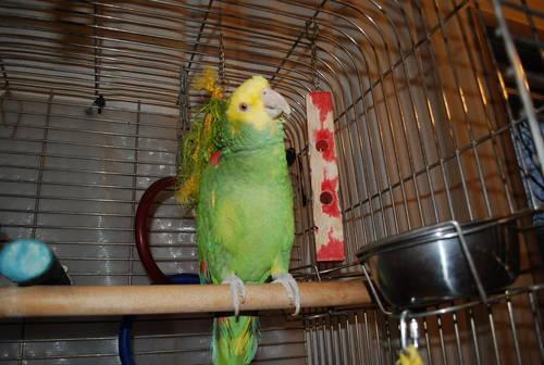 Manzanita Tree for Parrots