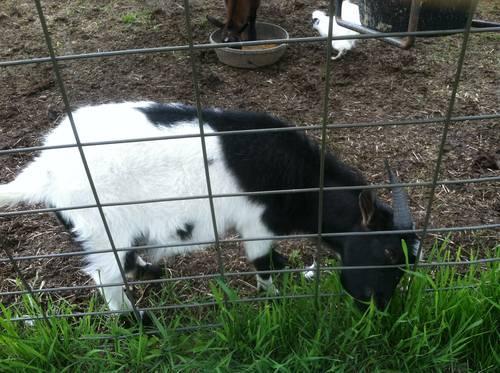 MGR Fainting goats