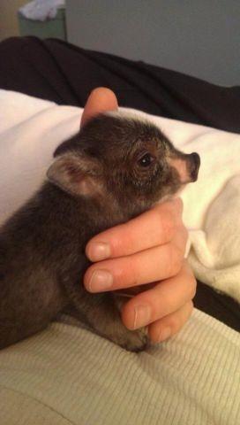 micro-mini teacup pig! cute!