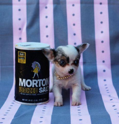 Micro Teacup Long Hair Blue Merle Female Applehead Chihuahua