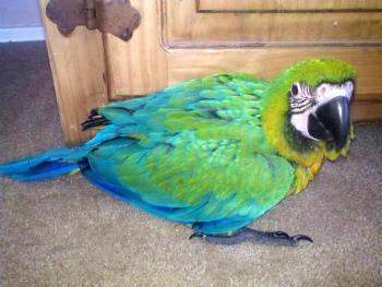 Milligold Macaws