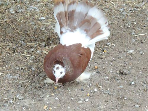 Mindian Fantail Pigeons for sale in Vacaville, California - Animals