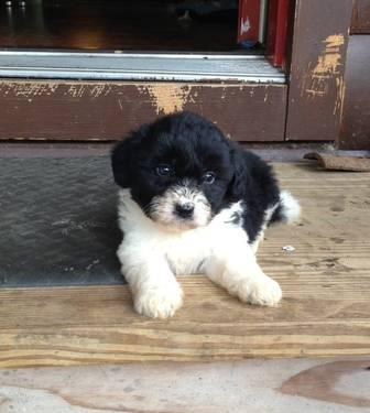 Mini bordoodle pups for sale in Allensburg, Ohio - Animals