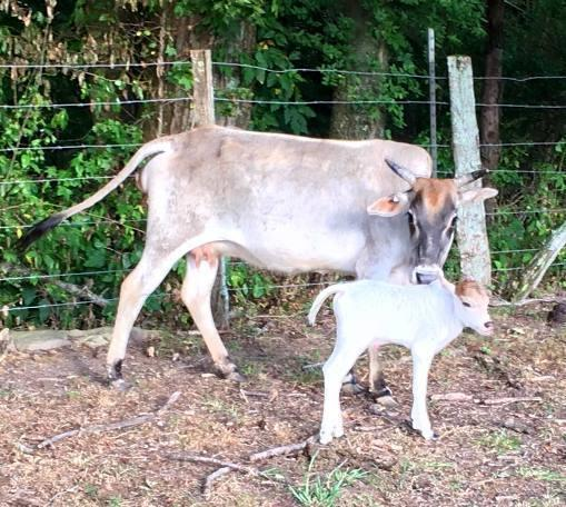 mini zebu bull calf