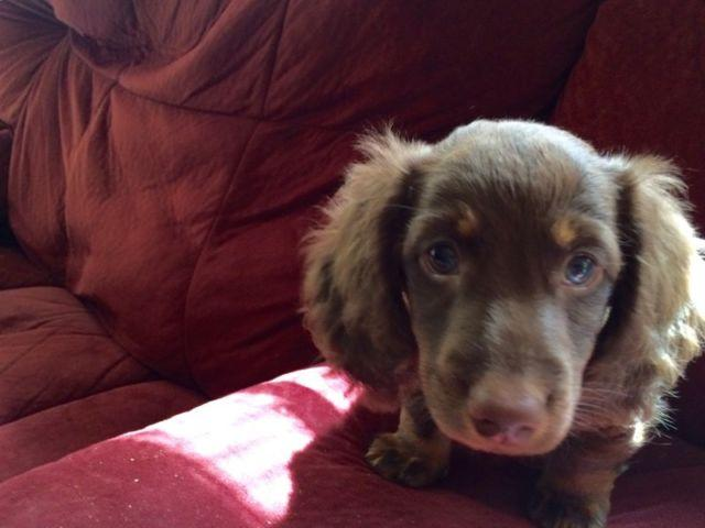 Miniature Dachshund Puppies 9 Weeks Old For Sale In Chesapeake