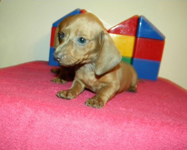 Miniature Dachshund Pups Registered 910 892 1224 For Sale In Dunn
