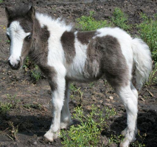Miniature Horse Foals