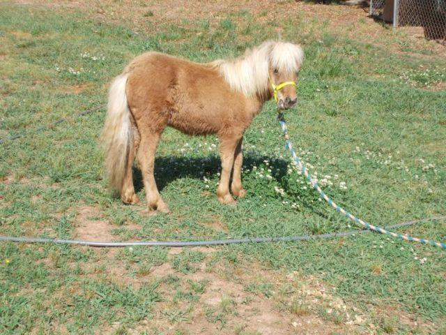 MINIATURE HORSES FILLIES AND COLTS