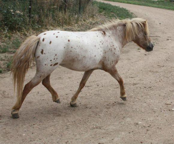 Miniature horses, mares colts fillies, appaloosa paint