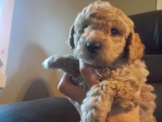 Miniature Poodle puppies (Utica ) for sale in Cedarville, New York
