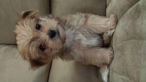 Morkie teacup puppies