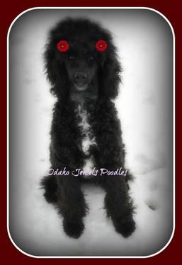 Moyen Standard Poodle Puppies Girls Akc For Sale In