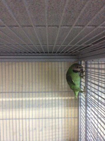 Mustache Parakeets