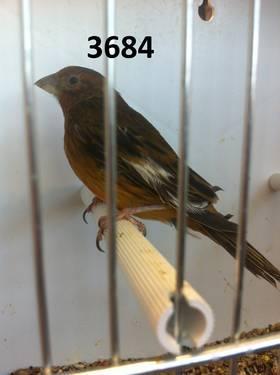 Napoleon Weaver Finch (Male) *PRICE REDUCED 1 LEFT!