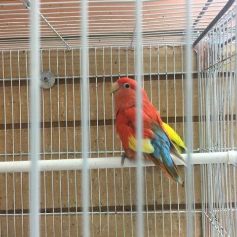 Pair Red fusion love Bird Female and Lutino split to red Fusion