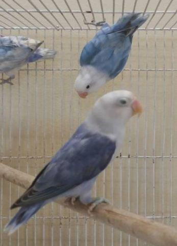 Par blue sable lovebirds/ white face sables