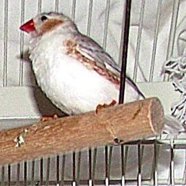 Parakeet (Other) - Group - Small - Adult - Bird