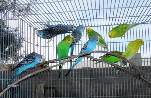 parakeet pairs