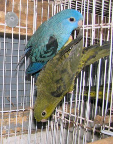 parakeets (budgierigars)