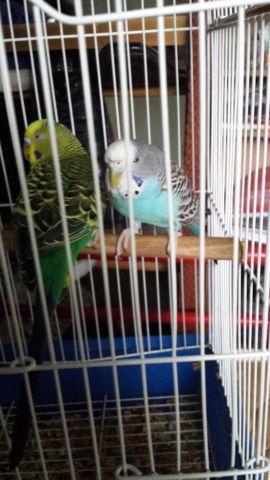 parakeets (budgies)