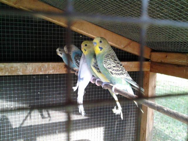 parakeets (english budgies)