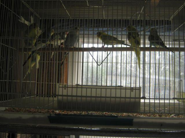 parakeets (english budgies) for sale in Safety Harbor, Florida