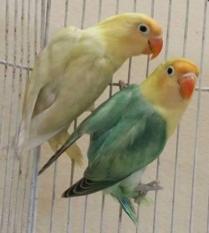 parblue lovebirds