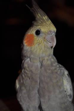 Parent Raised Derbyan Parakeet