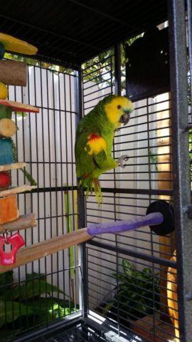 Parrot Blue front amazon