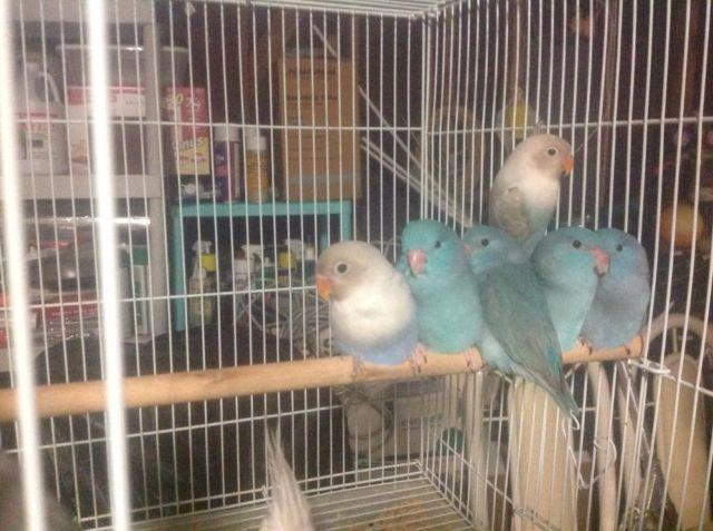 Parrotlet and lovebird