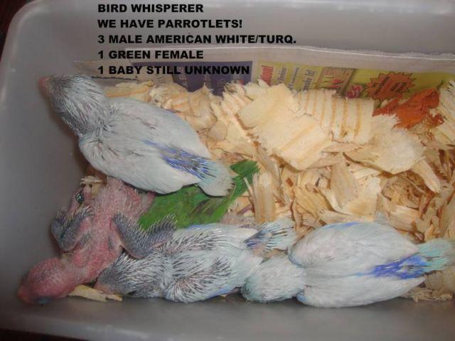 Parrotlets 50.00 to 100.00