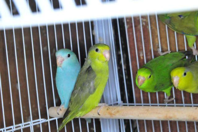 Parrotlet Sale Parrotlets For Sale 1
