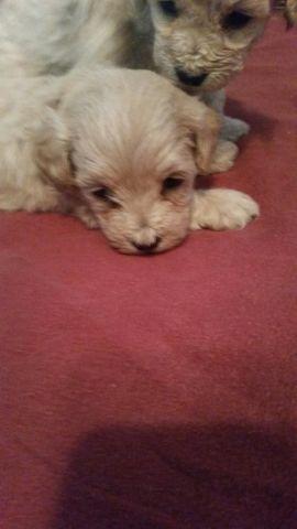 Peekapoo toy puppies for sale in Auburn, New York - Animals nStuff