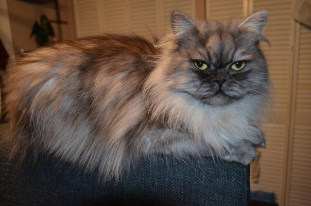 Persian Cat for sale in Escondido, California - Animals nStuff
