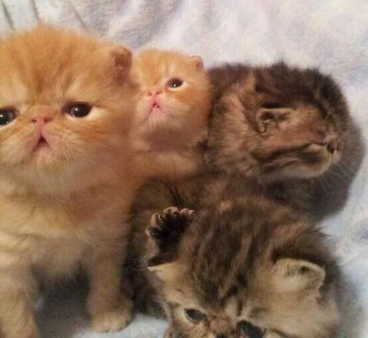 Persian kittens and exotic shorthair persians
